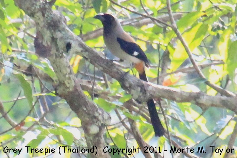 Grey Treepie -winter- (Kaeng Krachen National Park, Petchaburi, Thailand)