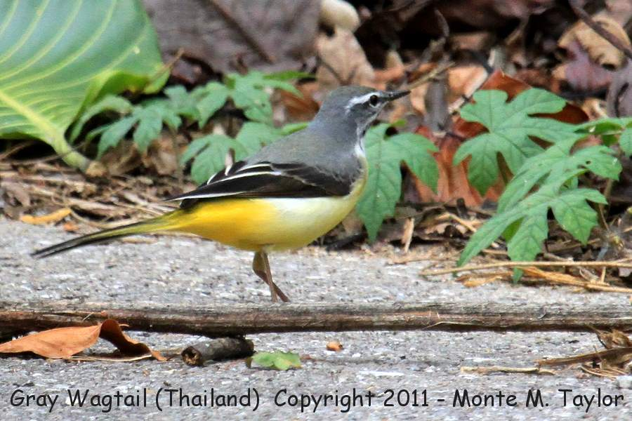 Gray Wagtail -winter- (Kaeng Krachen National Park, Thailand)