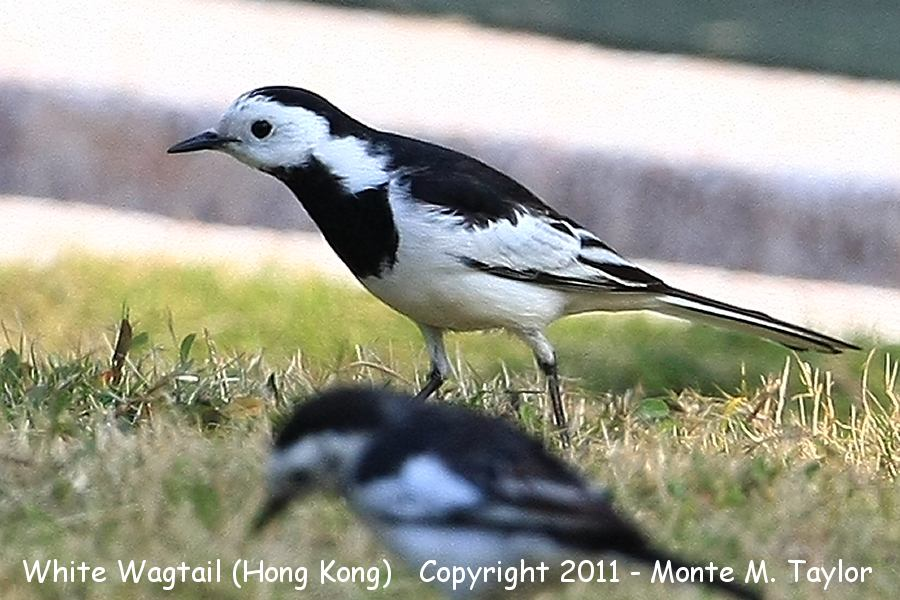 White Wagtail -winter black-backed race- (Hong Kong, China)