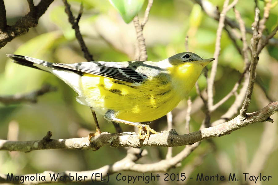 magnolia warbler fall - photo #5