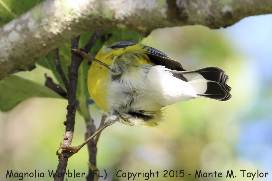 magnolia warbler fall - photo #31