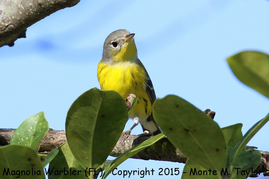 magnolia warbler fall - photo #26