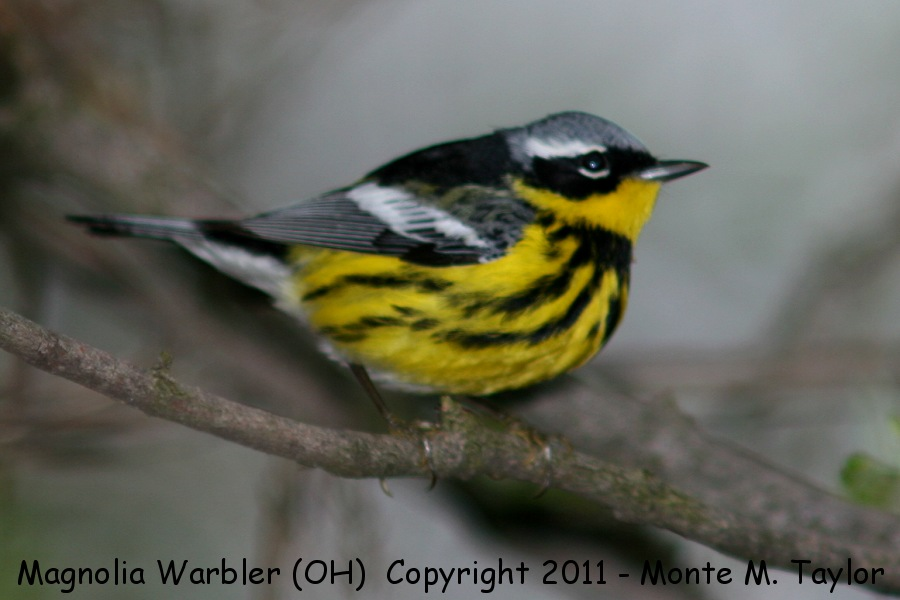 magnolia warbler fall - photo #28
