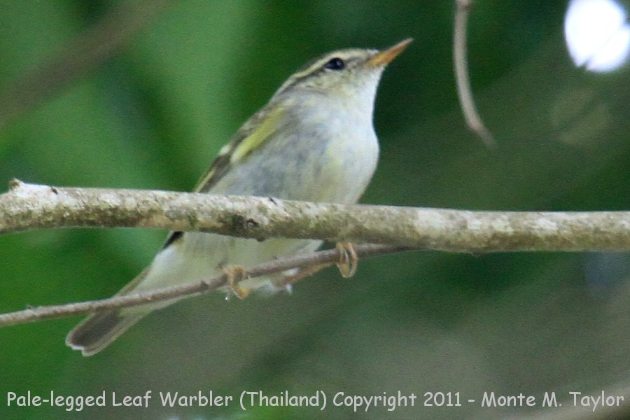 Pale-legged Leaf Warbler -winter- (Kaeng Krachen National Park, Petchaburi, Thailand)