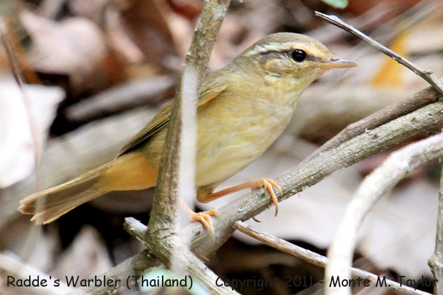 Radde's Warbler -winter- (Kaeng Krachen National Park, Thailand)