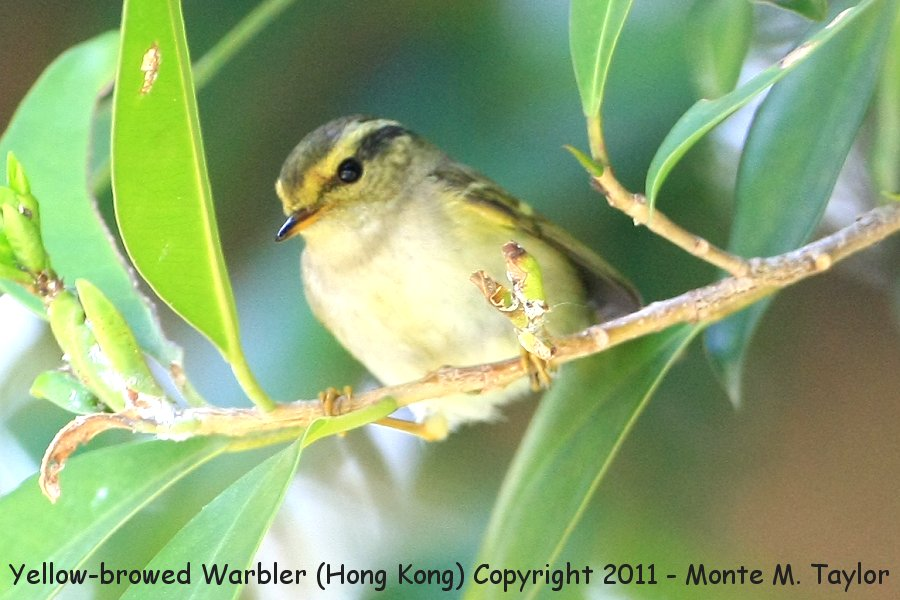 Yellow-browed Warbler -winter- (Hong Kong, China)