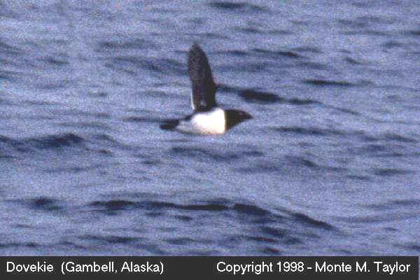 Dovekie -spring- (Gambell, Saint Lawrence Island, Alaska)