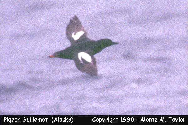 Pigeon Guillemot -spring- (Gambell, Saint Lawrence Island, Alaska)