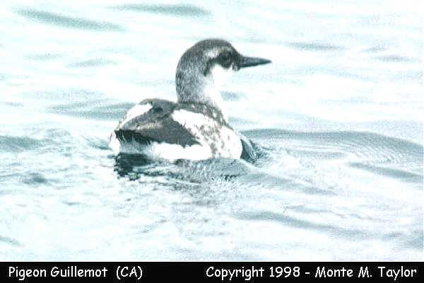 Pigeon Guillemot - winter - California