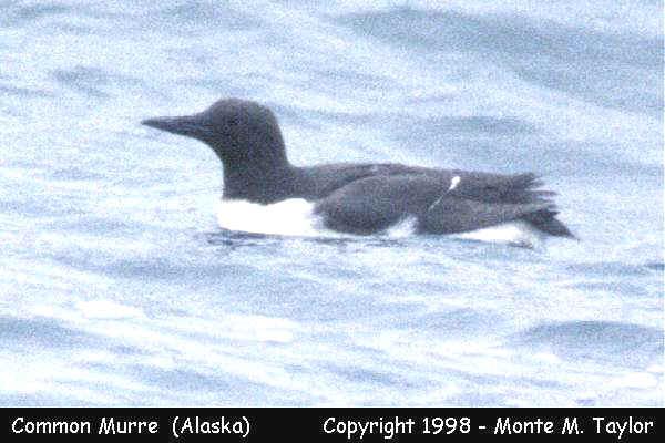 Common Murre -spring- (Gambell, Saint Lawrence Island, Alaska)