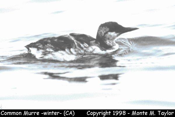 Common Murre - winter plumage - California