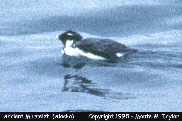 Ancient Murrelet -spring- (Attu Island, Alaska)