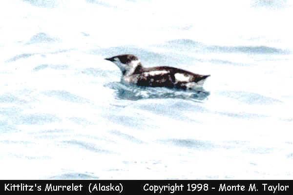 Kittlitz's Murrelet spring- (Seward, Alaska)