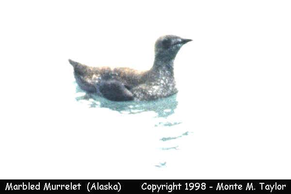 Marbled Murrelet -breeding- (Seward, Alaska)