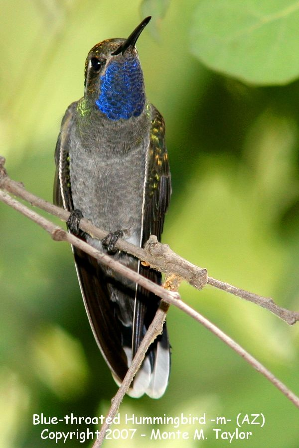 Blue-throated Hummingbird -male- (Arizona)
