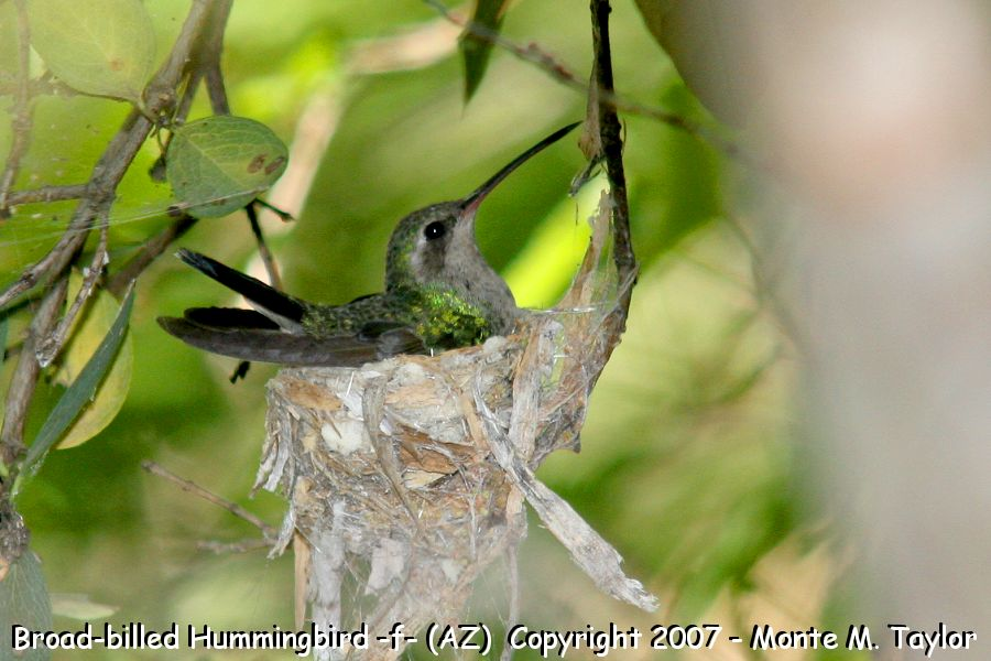Broad-billed Hummingbird -female on nest- (Arizona)