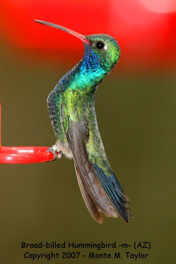 Broad-billed Hummingbird -male- (Arizona)