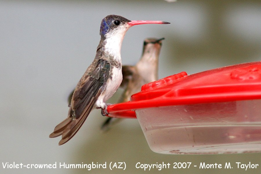 Violet-crowned Hummingbird - juvenile- (Arizona)