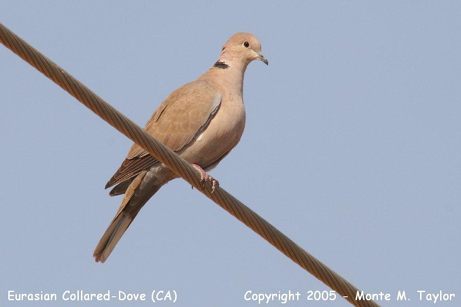 Euraisan Collared-Dove (California)