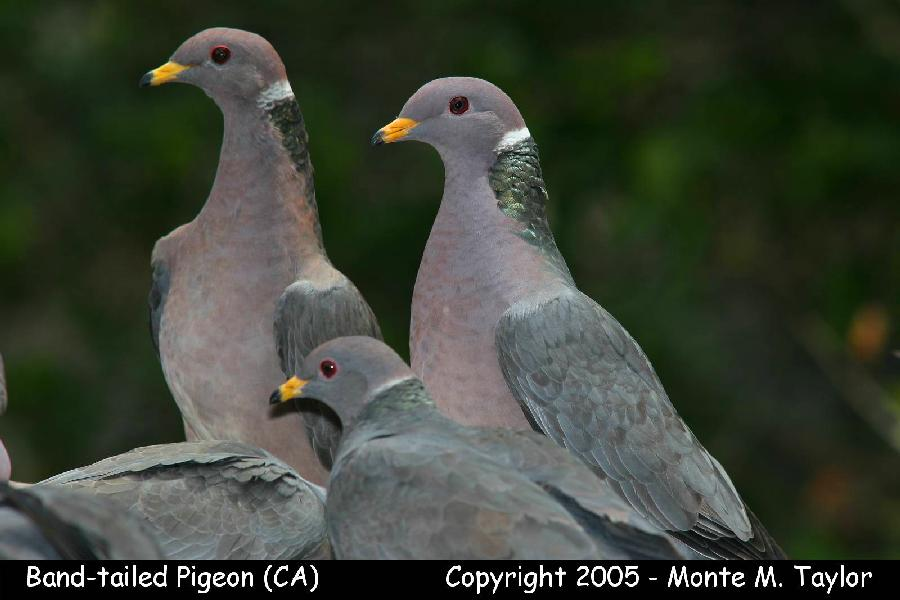 Band-tailed Pigeon  (California)