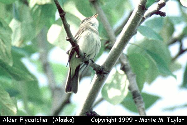Alder Flycatcher  (Anchorage, Alaska)
