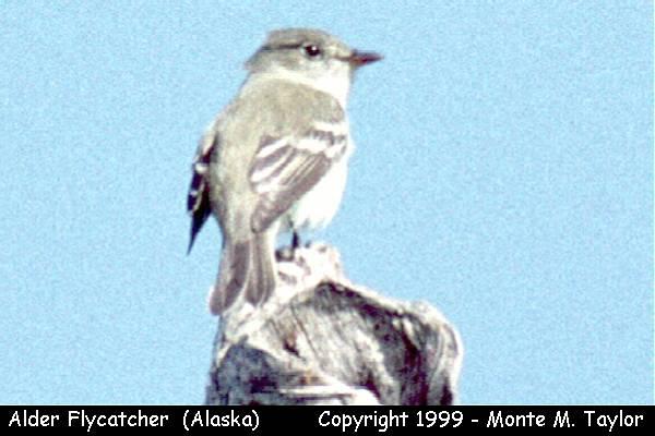 Alder Flycatcher  (Anchorage, Alaska)