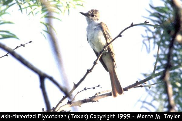 Ash-throated Flycatcher  (Texas)