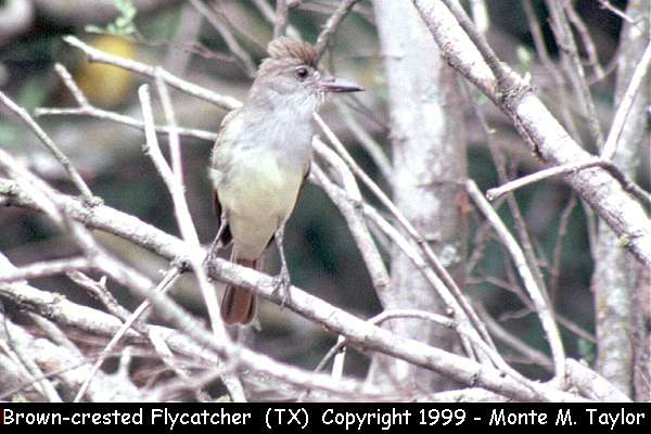 Brown-crested Flycatcher  (Texas)