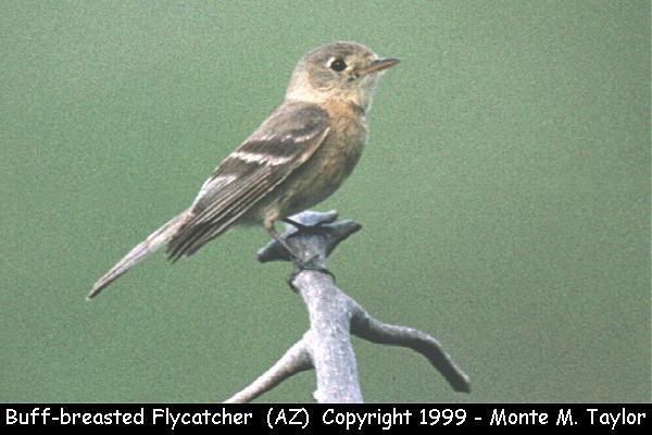Buff-breasted Flycatcher  (Arizona)