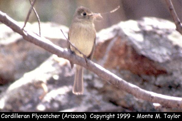Cordilleran Flycatcher  (Arizona)