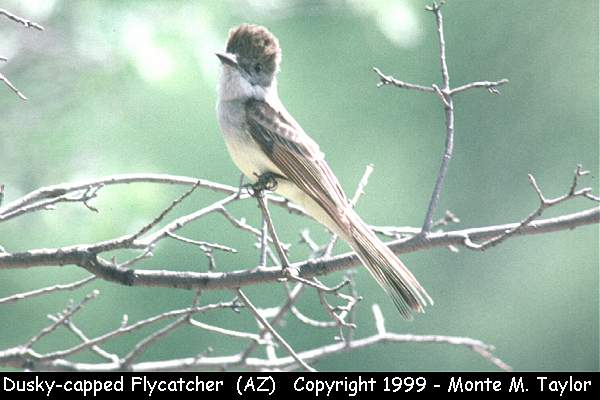 Dusky-capped Flycatcher  (Arizona)