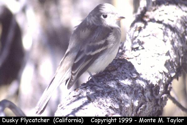 Dusky Flycatcher  (California)