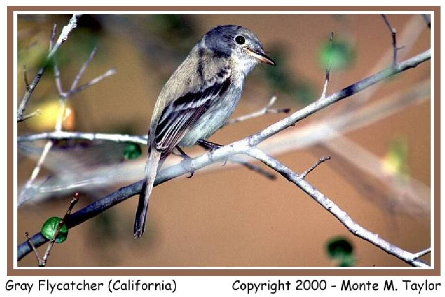 Gray Flycatcher - winter - California