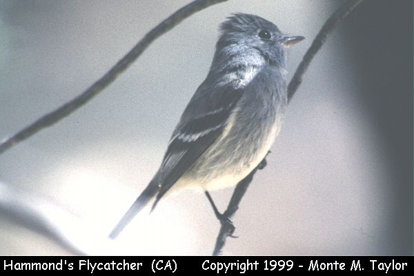 Hammond's Flycatcher  (Yosemite NP, California)