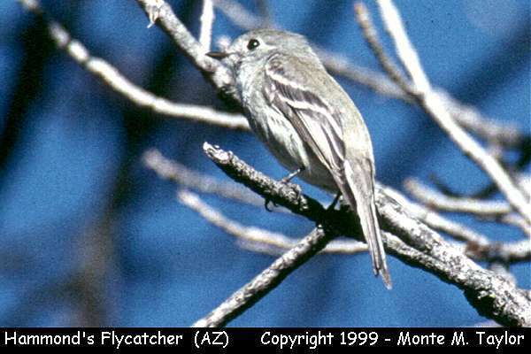 Hammond's Flycatcher  (Arizona)