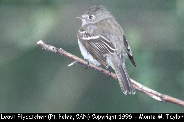 Least Flycatcher (Pt. Pelee NP, Ontario, Canada)