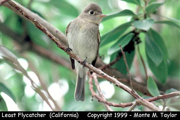 Least Flycatcher -fall-  (California)