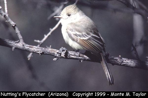 Nutting's Flycatcher  (Patagonia Lake, Arizona)