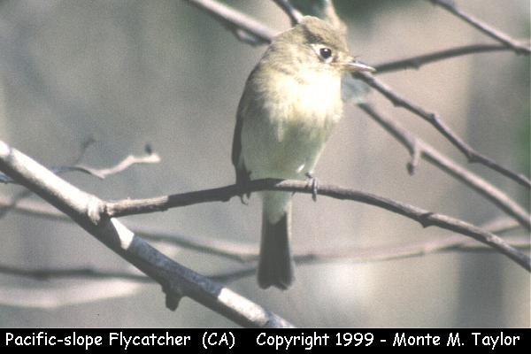 Pacific-slope Flycatcher  (California)