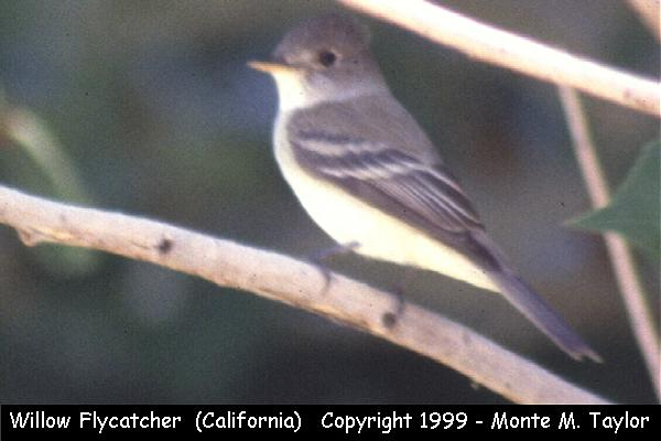 Willow Flycatcher  (California)