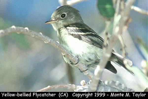 Yellow-bellied Flycatcher  (Galileo Hills, California)