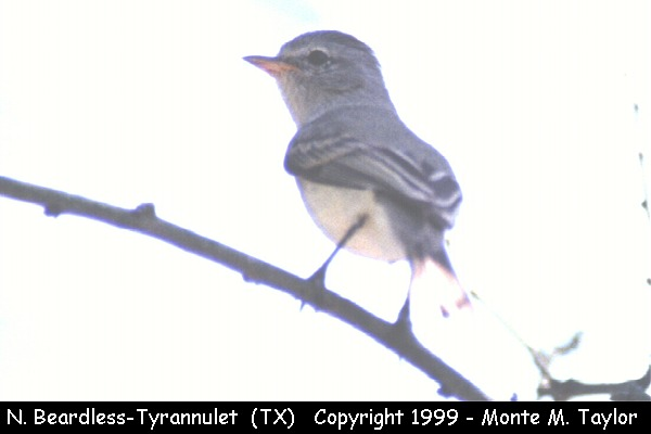 Northern Beardless-Tyrannulet  (Texas)