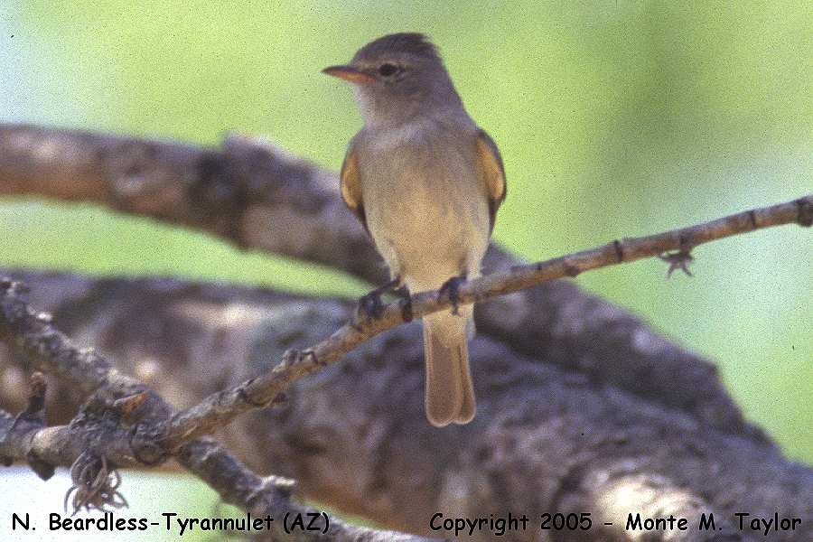 Northern Beardless-Tyrannulet (Arizona)