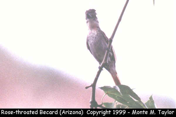 Rose-throated Becard  (Arizona)