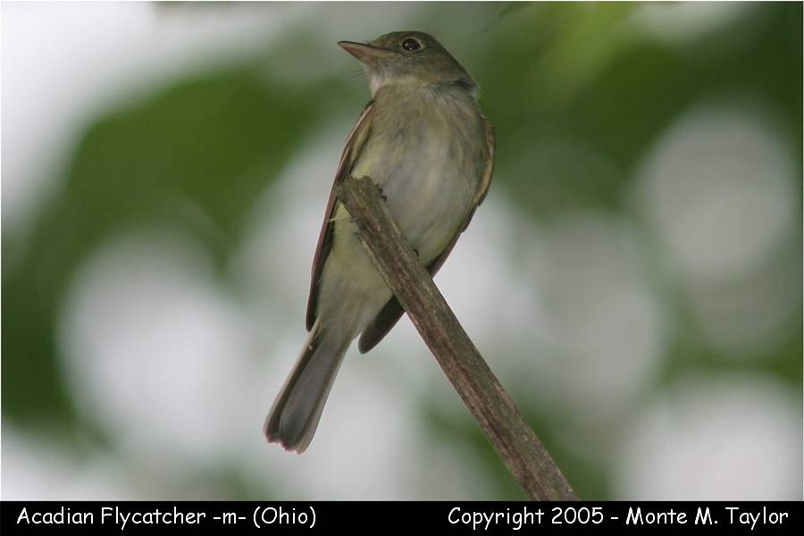 Acadian Flycatcher (Ohio)