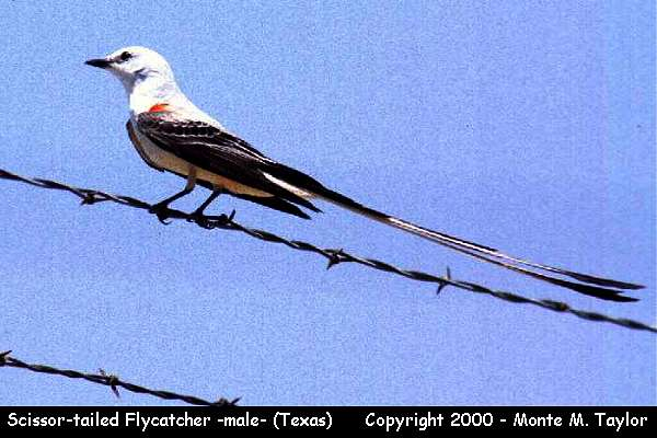 Scissor-tailed Flycatcher -male-  (Texas)
