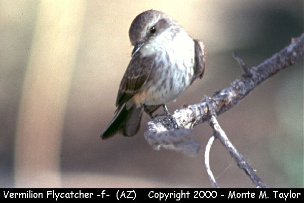 Vermilion Flycatcher -female-  (Arizona)