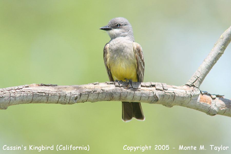 Cassin's Kingbird (California)