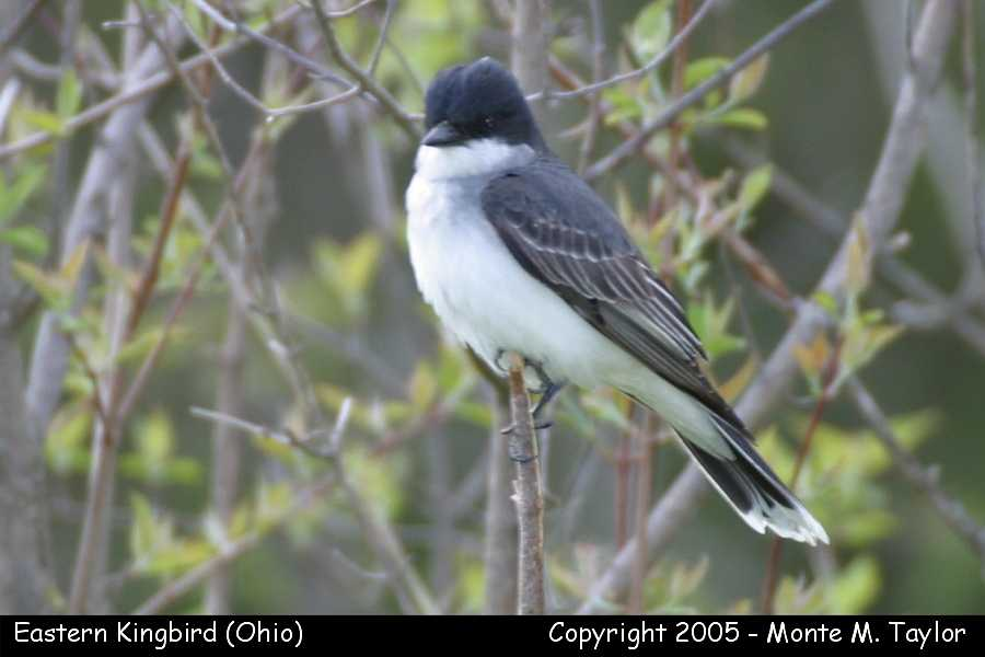 Eastern Kingbird  (Ohio)