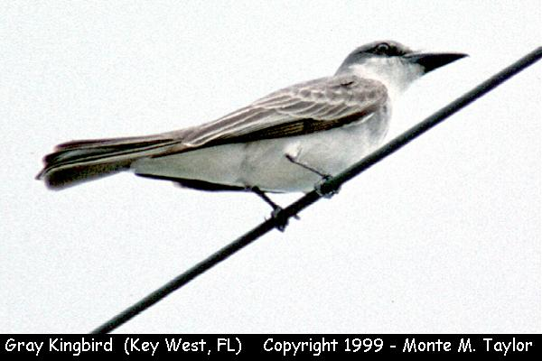 Gray Kingbird  (Key West, Florida)